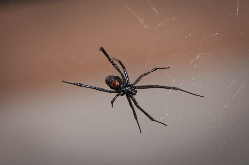 black-widow-spider-949399_1280