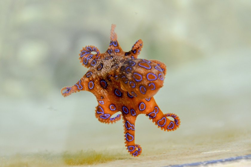blue-ringed-octopus-2414408_1280